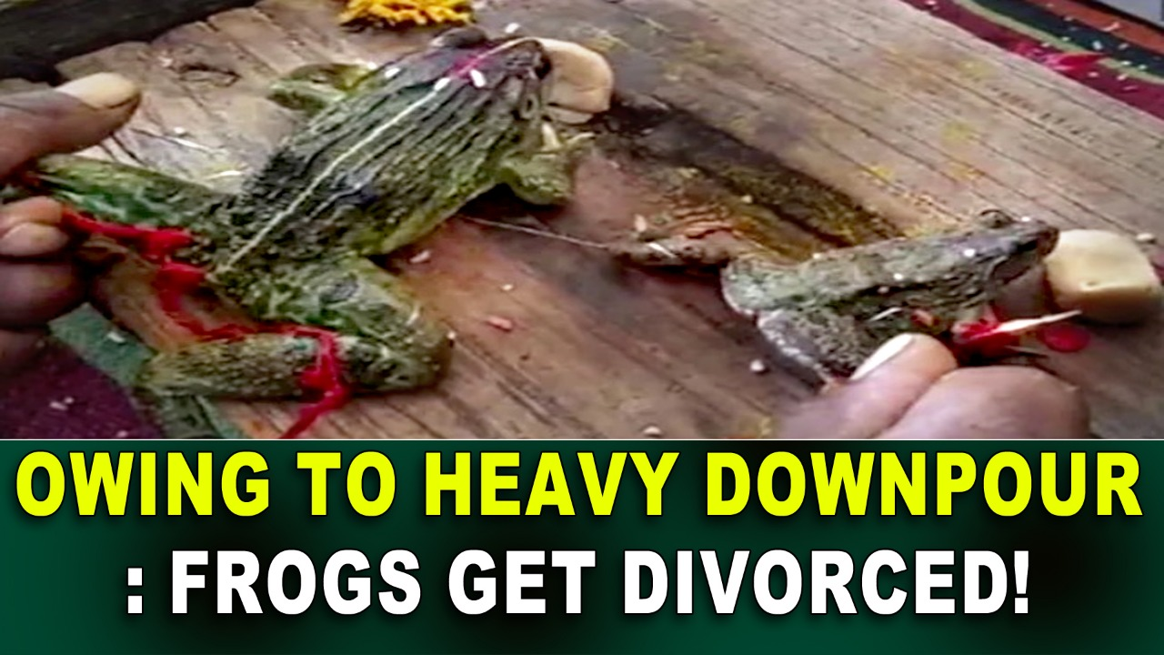 Owing To Heavy Downpour: Frogs Get Divorced!